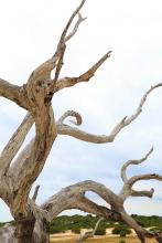 Cumberland Island Dead Tree