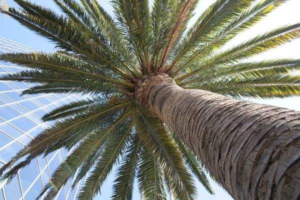Palm Tree Glory